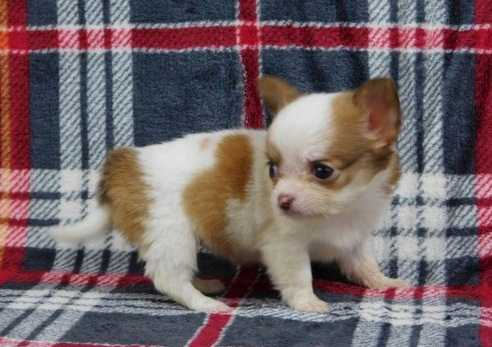 amazingly soft - clean chihuahua puppies for sale