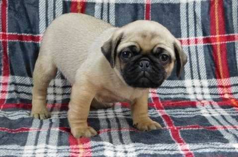 Gorgeous pug puppies for sale